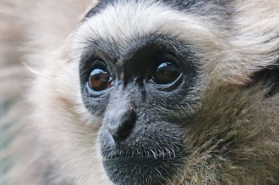 black-caps-gibbon-936902_1920
