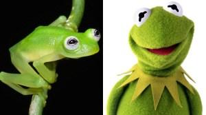 """#Curiosidades Descubren nueva especie de rana parecida a la """" Rana René """"."""