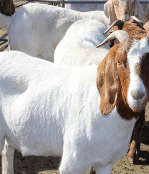 Image of premium quality Whole goat on Now Now Express for sending livestock to Nigeria