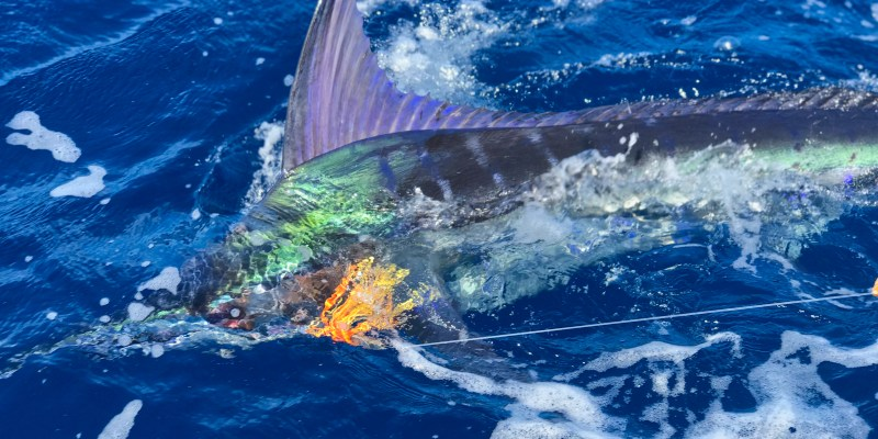 One Day, I Will Catch a Blue Marlin