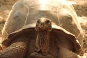 Giant tortoise of the Prison Island near Zanzibar