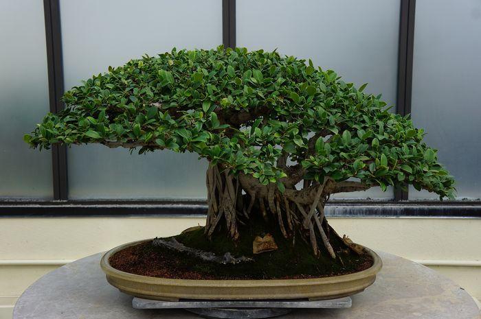 bonsai (3)