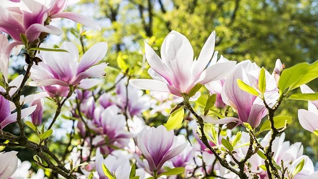magnolia magnolie, gdzie kupić magnolię, hodowla magnolii