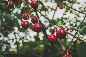 jak uprawiać czereśnie