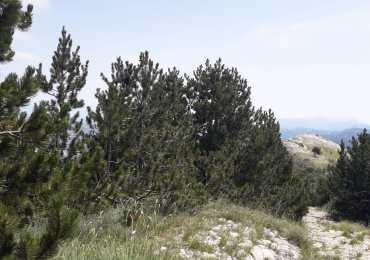 U planu izrada Studije konzervacije bora munike