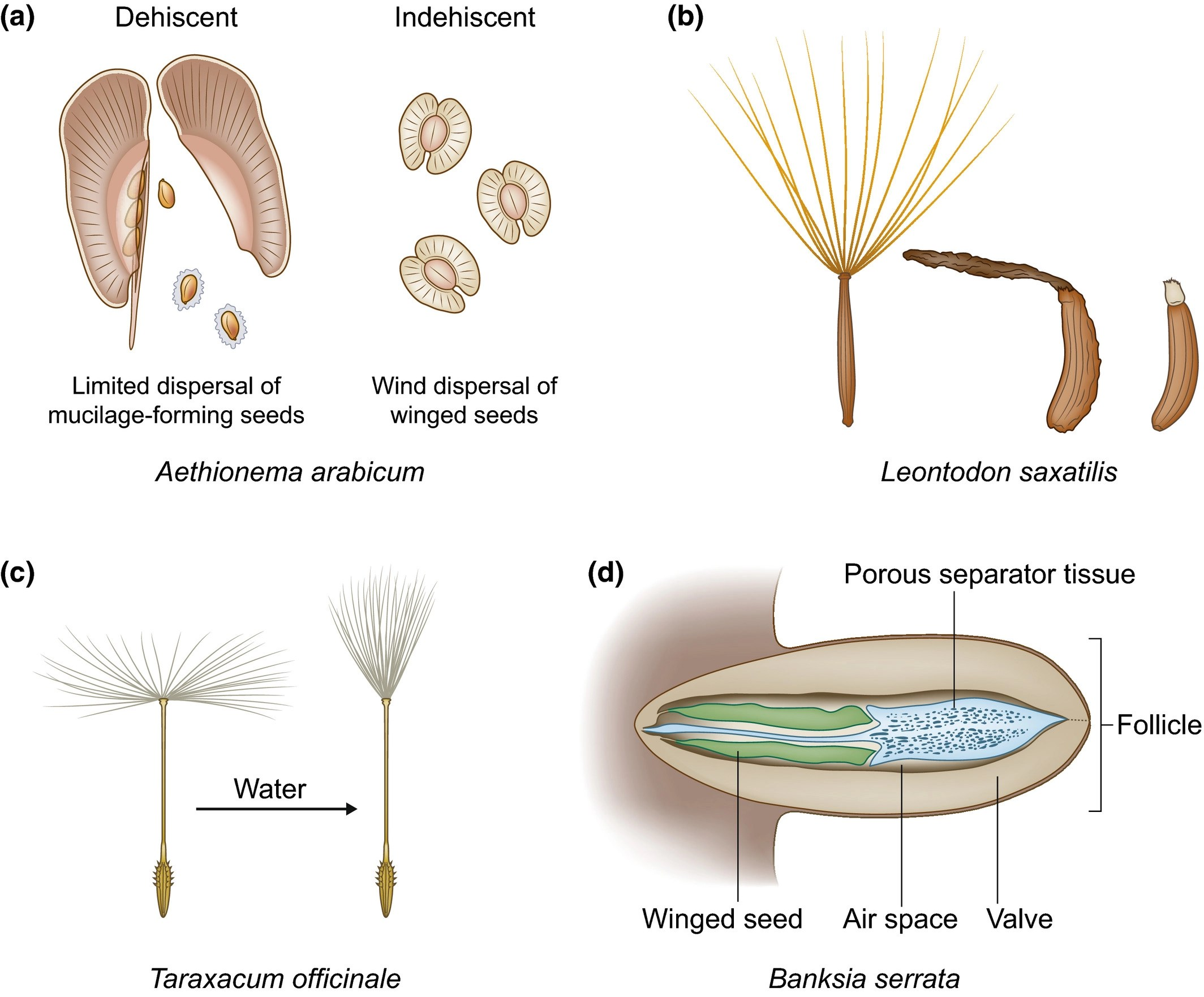 From Passive To Informed Mechanical Mechanisms Of Seed