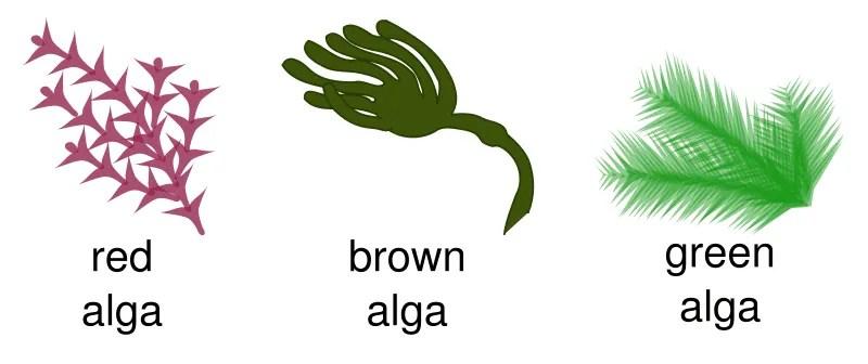 Alghe brune