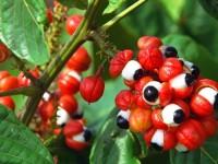 guarana-colheita-1
