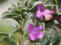 satureja-montana