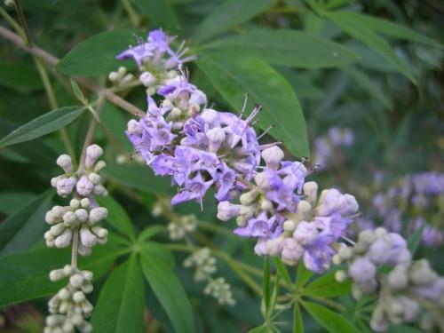agnocasto-flor