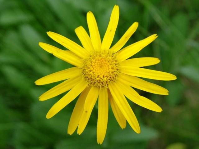 arnica-flor