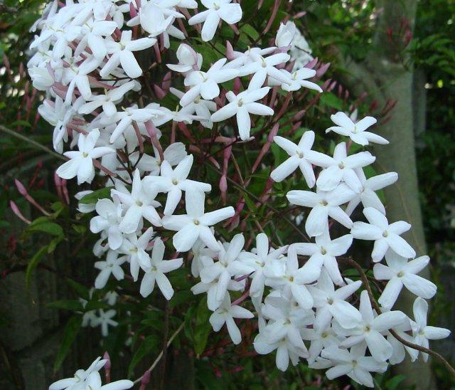 jasmim-branco