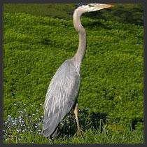 Blue Heron Wetlands