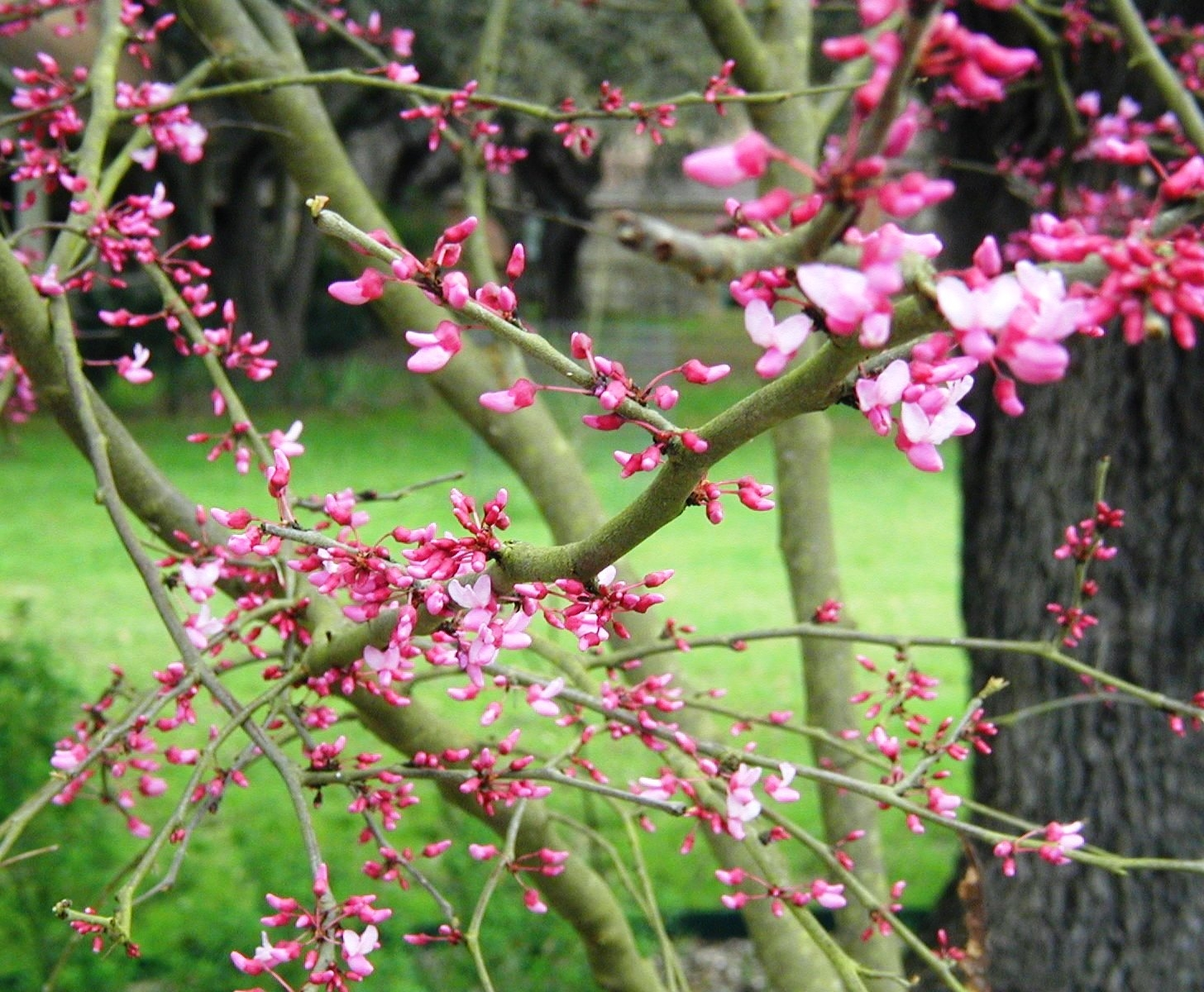 January 2010 boerne chapter branches of redbud blooms mightylinksfo