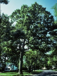 chinquapin oak shade tree