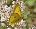 Colias eurytheme - Orange Sulphur