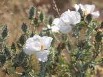 Argemone polyantemos - White Prickly Poppy