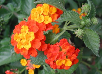 Texas lantana mightylinksfo