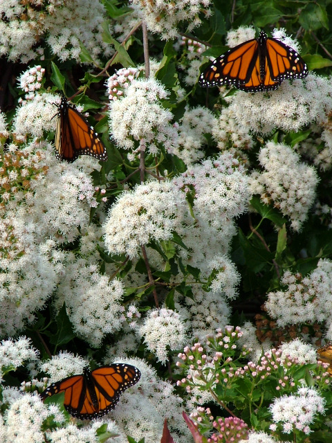 Monarchs On Mistflower. Photo By Kathy Milenki