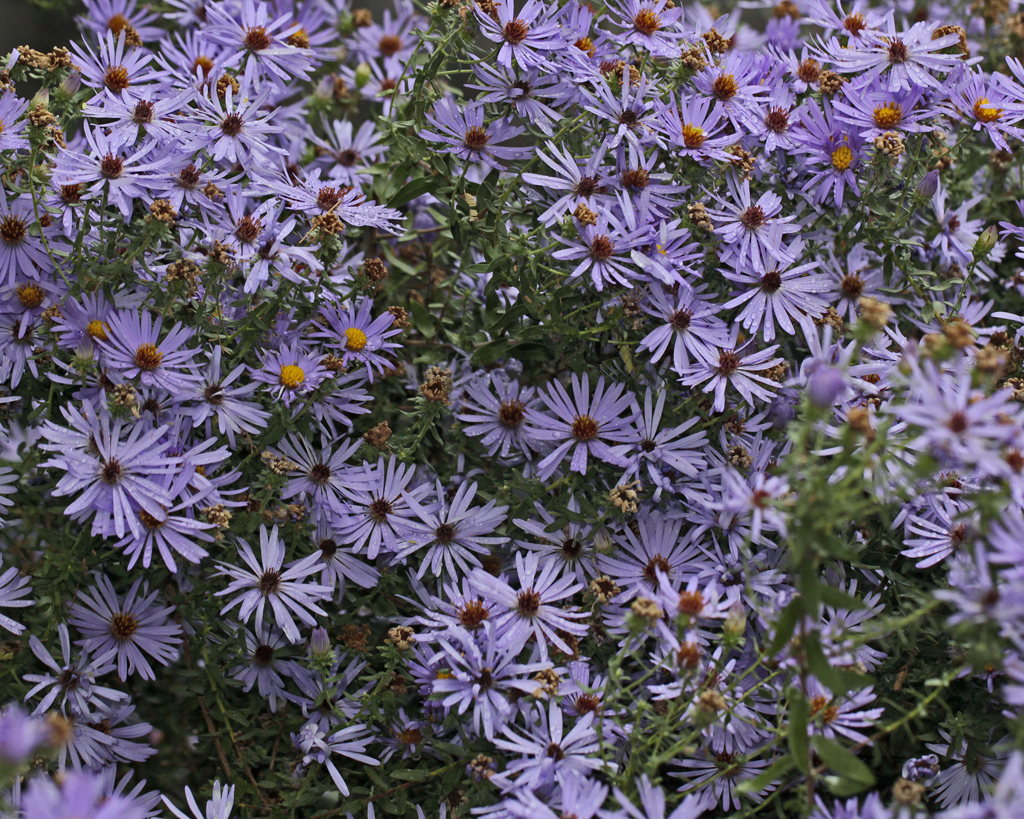 Fall Aster And Other Late Bloomers Native Plant Society Of Texas