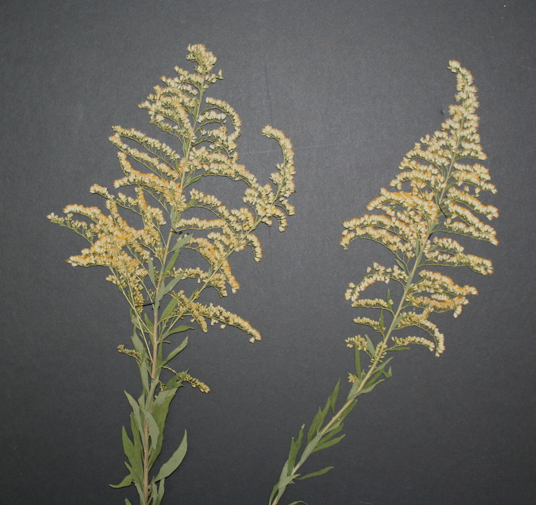 The pleasures of dried wildflowers | Native Plant Society of