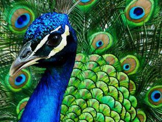 The Peacock Phenomenon