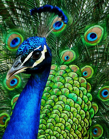 52a9a3370a64349bcabb125ac41ea019--peacock-colors-peacock-feathers