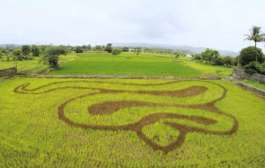 Pune based artist creates image of a Bamboo Pit Viper in rice field