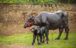 India's first batch of IVF Buffalo Calves born amidst lockdown an initiative of JK Trust