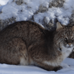 Possible Bobcat Sighting on Southwick Road