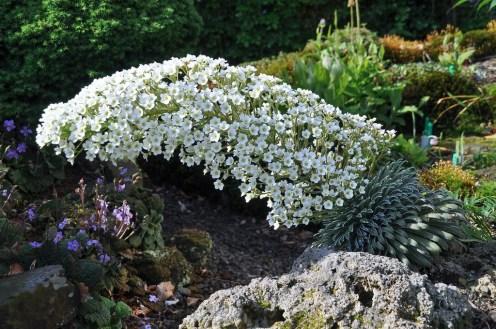 Saxifraga longifolia