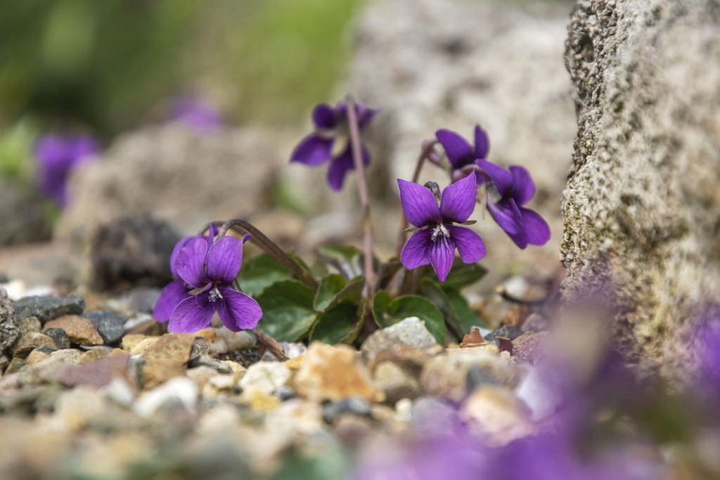 Viola 'Mount Kasbek'
