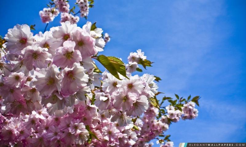 soft pink fleur de cerisier japonais