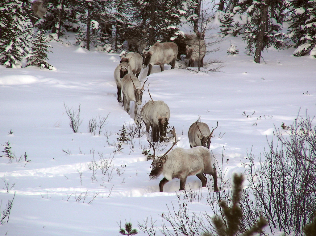 A Herd Of Caribou Walking Single File Through The Snow