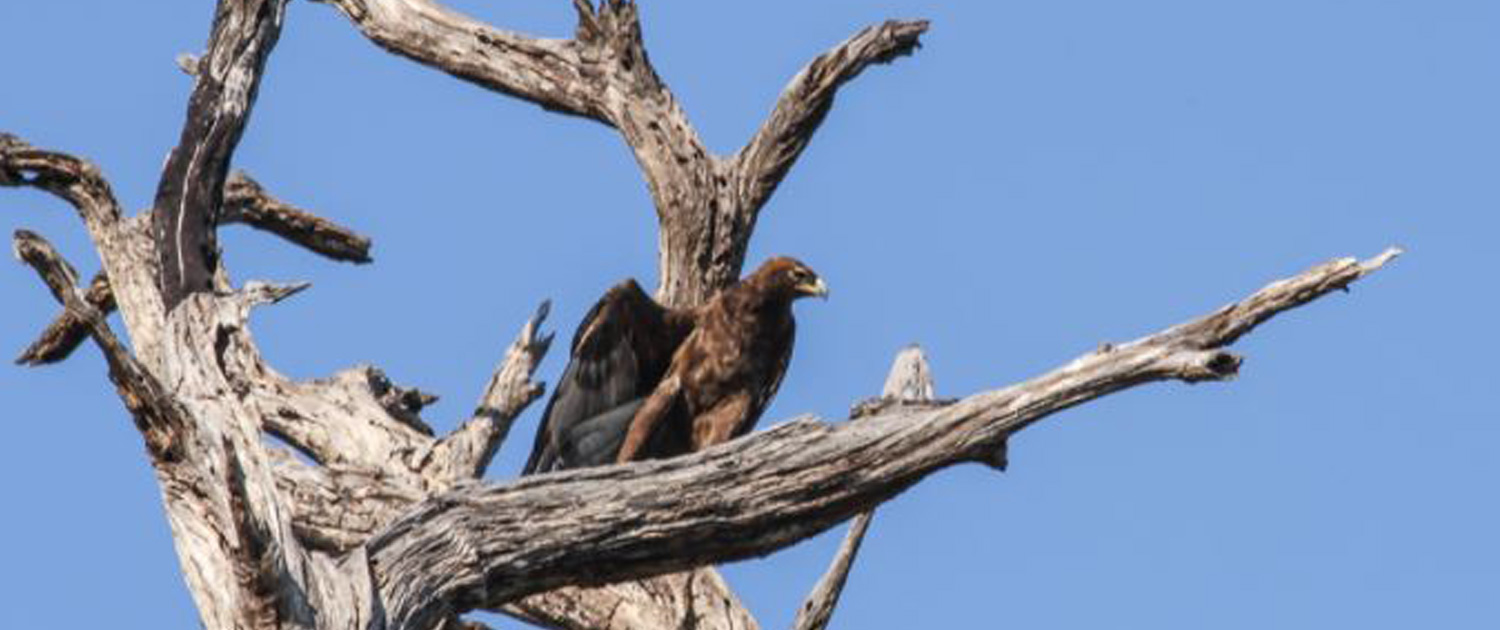 Eagle - Nsonga Game Management & Lodges