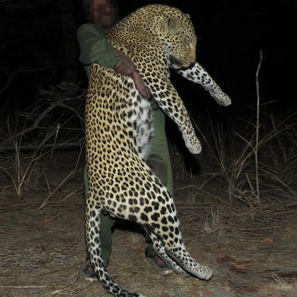 Leopard hunt - Nsonga Game Management & Lodges