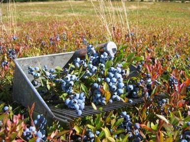 wild blueberry hand rake