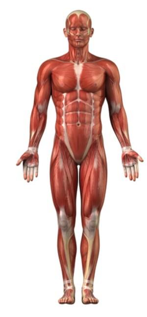 Muskler – et undervisningsmateriale til naturteknologi