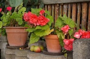 Begonias, Macetas, Flores En Maceta, Jardín