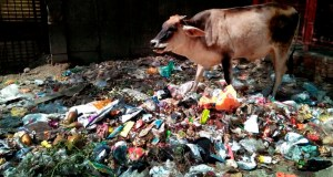 nti-news-1000-cow-dies-in-lucknow-due-to-polythene