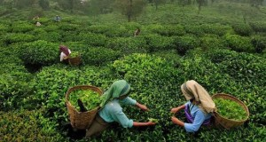 news trust of india uttarakhnad tea ready for market
