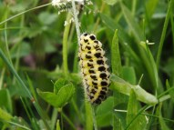 Six-Spot Burnet Moth Caterpillar
