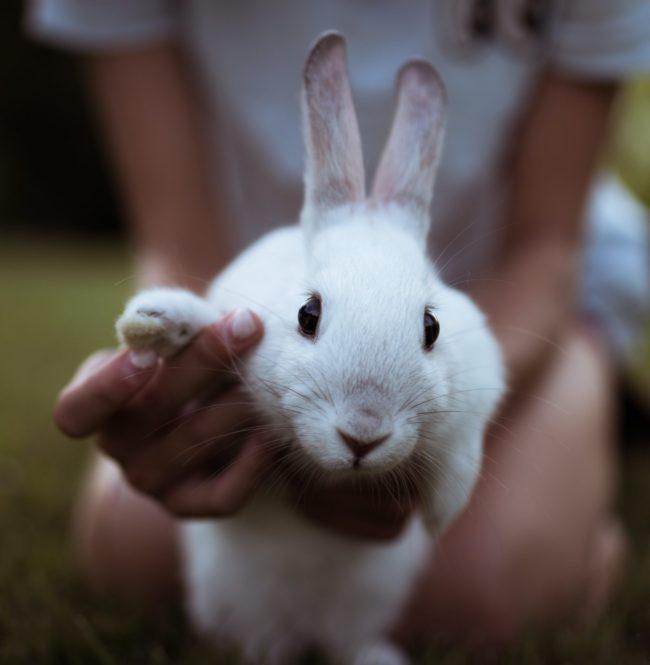ウサギの爪はどこまで切るの?