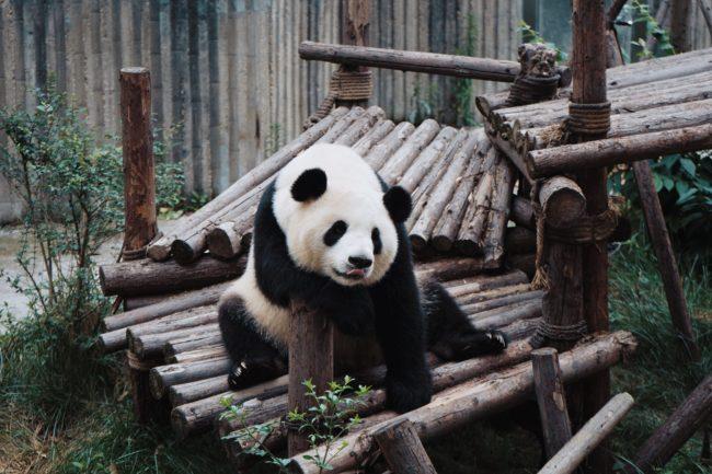 折り紙のパンダの作り方!折り紙動物園シリーズ第2弾!