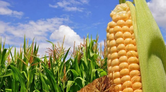 Largest Producer Of Maize In The World