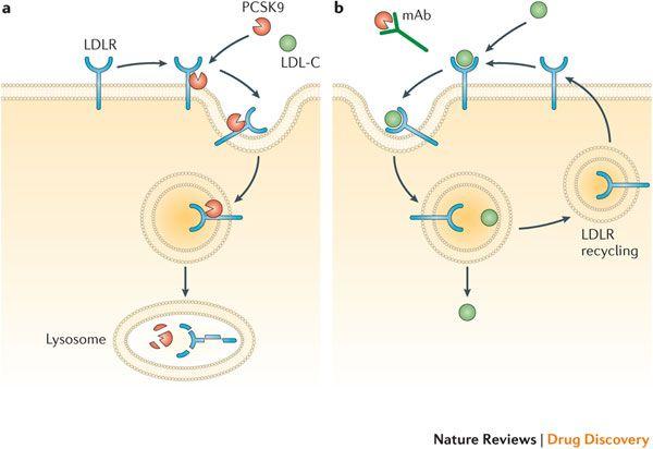 Το ένζυμο (πρωτεΐνη) PCSK9 ενώνεται με τους υποδοχείς της LDL χοληστερίνης (LDL-R) που βρίσκονται στην επιφάνεια των ηπατικών κυττάρων και προκαλεί την καταστροφή τους όπως και της LDL χοληστερίνης (LDL-C) όταν εισέλθουν στο ηπατοκύτταρο. Έτσι επιστρέφουν- ανακυκλώνονται λιγότεροι υποδοχείς της LDL χοληστερίνης στην επιφάνεια των κυττάρων για να ξανα-υποδεχτούν σωματίδια της LDL χοληστερίνης. Με αυτόν τον τρόπο  το ένζυμο PCSK9 αυξάνει την ποσότητα της LDL χοληστερίνης που κυκλοφορεί στο αίμα.
