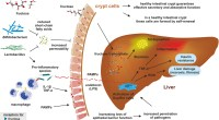 Η διατροφική πρόσληψη φρουκτόζης αναδεικνύεται σε μέγιστο εχθρό της υγείας του ήπατος και της ικανότητας του να μεταβολίζει το λίπος σύμφωνα με νέα έρευνα