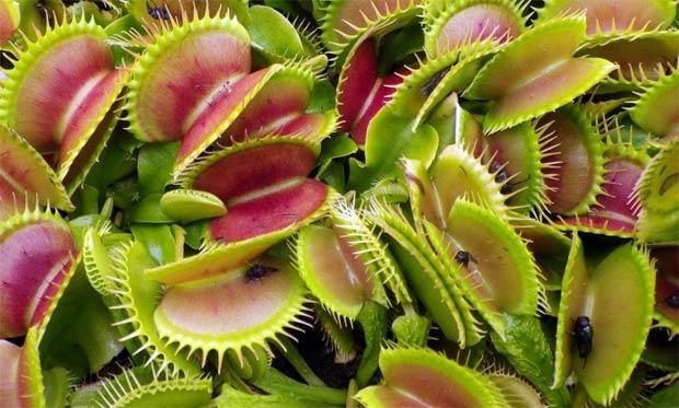 Dionaea_muscipula