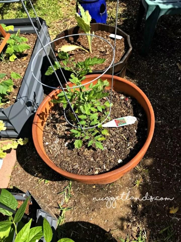 vegetable garden tomato