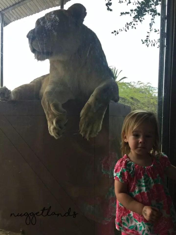 Safari Park Lion